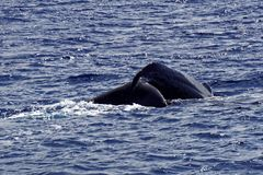 Tail of Sperm Whale about to Dive. The tail of a sperm whale in the coastal waters off the Caribbean Island of Dominica. The tail is raised just as the whale royalty free stock photos
