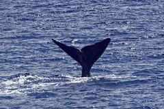 Tail of Sperm Whale about to Dive. The tail of a sperm whale in the coastal waters off the Caribbean Island of Dominica. The tail is raised just as the whale stock photos
