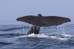 Tail of a sperm whale which dives into the water a summer da Royalty Free Stock Images