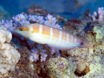 Tail-spot rainbow wrasse Stock Images