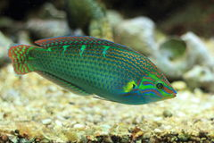 Tail-spot wrasse Royalty Free Stock Image