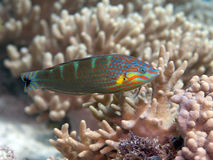 Tail-spot wrasse. In Bohol sea, Phlippines Islands Stock Image