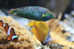 Tail-spot wrasse Stock Photo