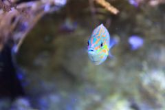 Tail-spot wrasse. Floating in water Stock Image