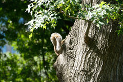 Tail of a squirrel Stock Photos