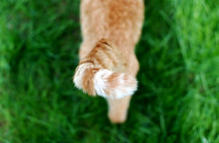 Tail stripes. High angle view of a stray tabby cat's orange and white striped tail Royalty Free Stock Photography