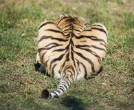 Tail of a tiger, a predator`s butt, a priest`s heart shape.  royalty free stock photography