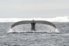 Tail view of Humpback whale Stock Image
