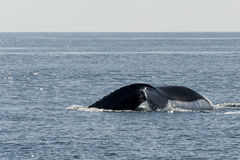 Tail view of Humpback whale Stock Photo