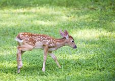 Tail wagging fawn Stock Images
