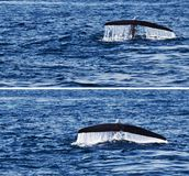 Tail whale in ocean Royalty Free Stock Photo