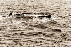 Tail of Whale, Cape Cod. Whale in Provincetown, Cape Cod, Massachussetts, United States Royalty Free Stock Image