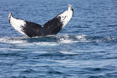 Tail of Whale, Cape Cod. Whale in Provincetown, Cape Cod, Massachussetts, United States Stock Images