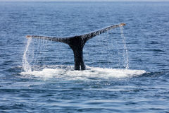 Tail of Whale, Cape Cod Royalty Free Stock Image