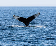 Tail of Whale, Cape Cod Royalty Free Stock Photography