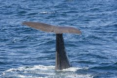 Whale while diving at Andenes. Tail of a whale while diving at Andenes at the Lofoten Islands in Norway stock images