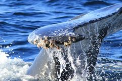 Tail of whale diving inside ocean splashing sea water stock images
