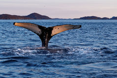 Tail of whale diving Stock Images