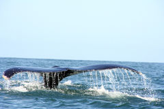 Tail of a whale in the ocean Stock Photos