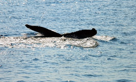 Tail of whale in sea. Tail of whale breaching surface of sea or ocean Royalty Free Stock Photography