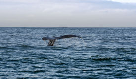 Tail of whale swimming in sea. Morro Bay, California, US royalty free stock photos