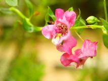 Tailandés olvídeme no flor Imagenes de archivo