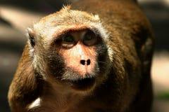 ` Tailandés s del Macaque del templo que espera un almuerzo libre Fotografía de archivo