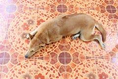 Tailandês asiático do marrom do cão de Ridgeback é opinião superior do sono na terra do assoalho do cimento imagem de stock
