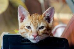 Tailandês do gato, gato novo que olha surpreendido e assustado fotografia de stock