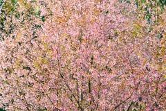 Tailandia Cherry Blossom Fotos de archivo libres de regalías