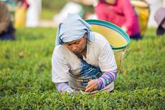 Tailandia - 10 de enero de 2016: Granjero que coge la hoja de té en la plantación de té, Chiangrai, Tailandia Fotografía de archivo