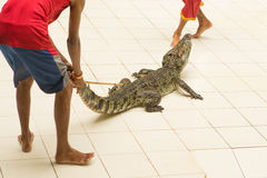 Tailandia, demostración del parque zoológico de cocodrilos en la granja y el parque zoológico del cocodrilo Fotografía de archivo libre de regalías