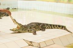 Tailandia, demostración del parque zoológico de cocodrilos en la granja y el parque zoológico del cocodrilo Imágenes de archivo libres de regalías