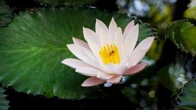Tailandia, flor de loto rosada en la hoja grande verde en el fondo Imagen de archivo libre de regalías