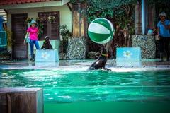 TAILANDIA KOH SAMUI el jugar del león del ‹del †del ‹del †del mar del 8 de abril de 2013 Fotografía de archivo libre de regalías