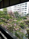 Tailandia Sakura Imagen de archivo libre de regalías