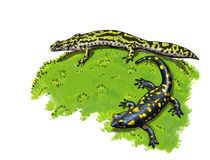 Tailed amphibians, newt and salamander. Digital illustration Royalty Free Stock Image