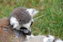 tailed bedöva för lemurcirkel Arkivbilder