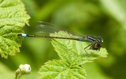 tailed blå damselfly Royaltyfria Foton