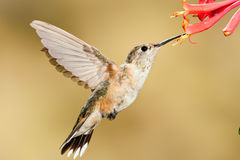 tailed bred hummingbird Royaltyfria Foton