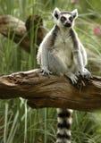 tailed cirkel för 2 lemur Royaltyfri Fotografi