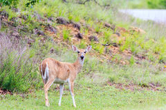 While-tailed deer foraging in Arrowhead State Park in Canadian, Oklahoma Royalty Free Stock Image