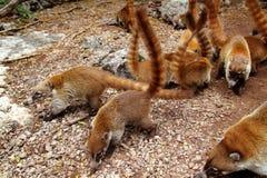 tailed djur cirkel för coatinaricanasua Royaltyfri Bild
