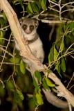 tailed dvärg- fet lemur Arkivfoton