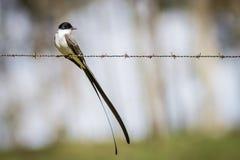 tailed flycatchergaffel Royaltyfri Foto