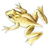 Tailed frog. Stock Photography