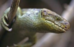 tailed grip- skink Arkivfoto