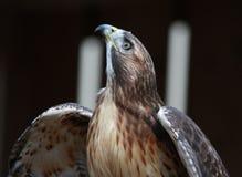 tailed hökred Royaltyfri Fotografi