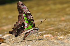 Tailed Jay butterfly. Of thailand background Stock Images