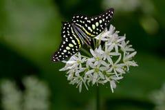 Tailed Jay Butterfly royaltyfria bilder